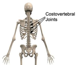 Costovertebral Joints